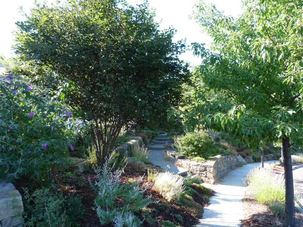 Edible/medicinal landscape year 5