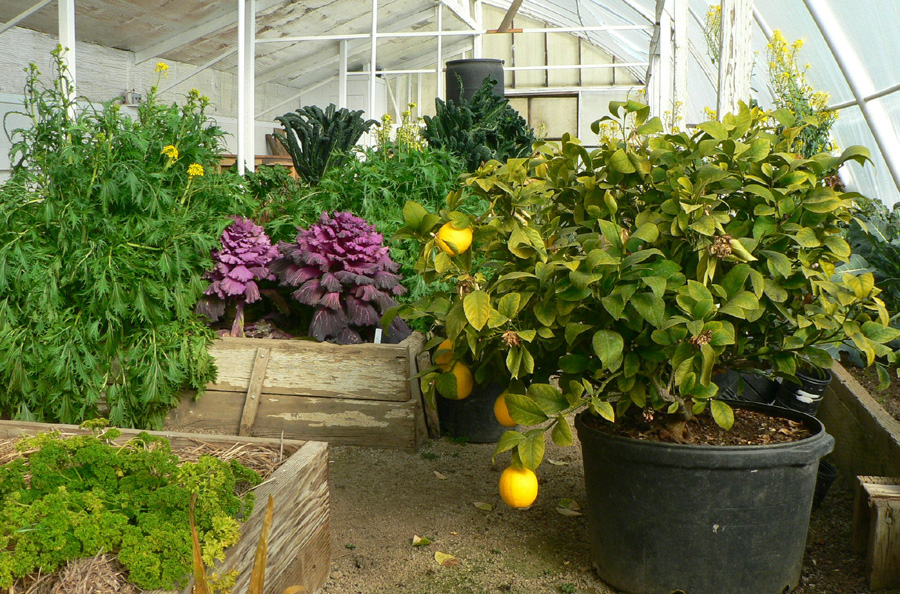 Winter vegetables and fruit growing in a greenhouse