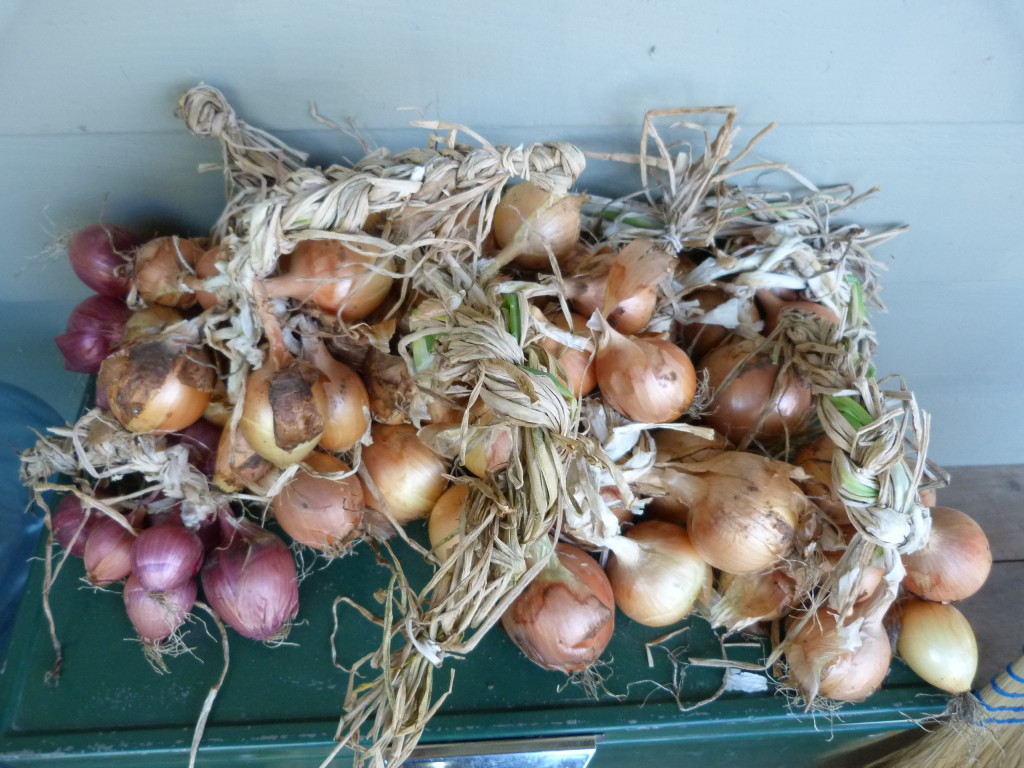 Three types of onions grown from seed