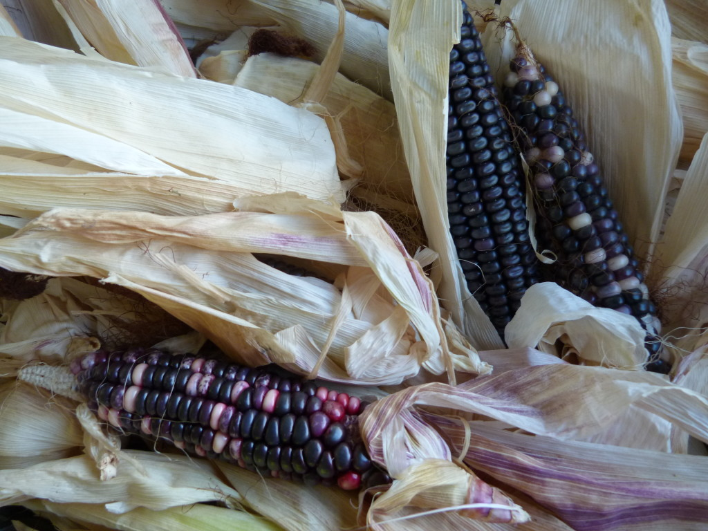 Seed corn for next season